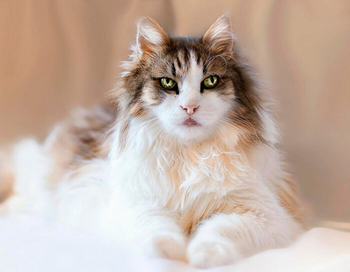 أجمل قطط العالم