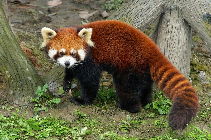 حيوان الباندا الأحمر