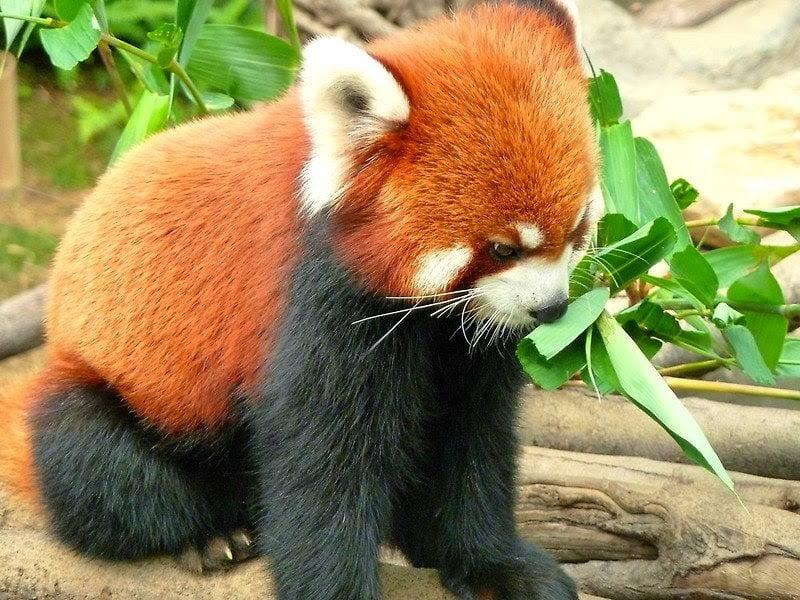 حقائق غريبة لا تعرفها عن دب الباندا الأحمر