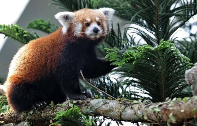 حقائق غريبة لا تعرفها عن  الباندا الأحمر